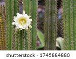 White Flower Cactus. Cactus...