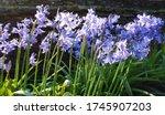 Beautiful Bluebell Flowers Gro...