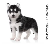 Stock photo cute little husky puppy isolated on white background 174597836