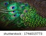 Close Up Peacocks  Colorful...