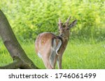Portrait Of A Fallow Deer  Dama ...