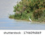 The Great Egret Ardea Alba Is...