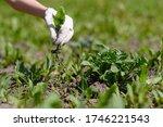 Gardener's Hand In A Glove...