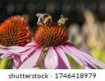 Bee   Bumblebee Collect Nectar...