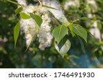 Seeds Of Poplar Fluff Close Up...