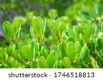 Closeup Green Mangrove Leaves...