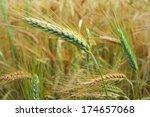 Ear Of Rye In The Field