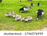 Family Of Barnacle Geese With...