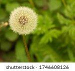 Dandelion Puff On Grass...