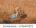 The Great Blue Heron Is A Larg...