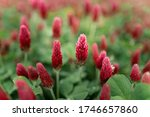 Red Flowering Clover In The...