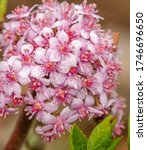 Darmera Peltata  The Indian...
