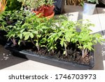 tomato plants grown from seed.... | Shutterstock . vector #1746703973