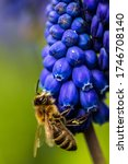 Bee Pollinating A Flower Of...