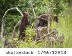 Two Brown Bear  Ursus Arctos ...