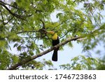 Keel-billed toucan (Ramphastos sulfuratus) perching on a branch