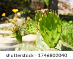 Cactus Bud And Cactus Needles...
