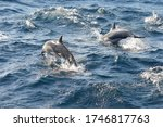 A Pod Of Common Dolphins...