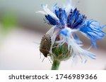 Asian bedbug on a centaurea...