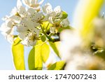 Blooming Apple Tree During...