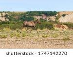 Elk  Alces Alces . Running...