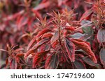 Small photo of A common plant found in Bermuda, the Match me if you can plant and sometimes know as Jacob's Coat. Botanical name is Acalypha wilkesiana