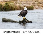 A Bald Eagle Perched On A Log...
