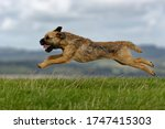 Border Terrier. Dog Running...