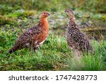 Partridge  Lagopus  Male And...