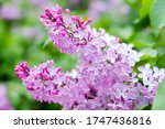 Lilac Blooms. Spring Lilac...