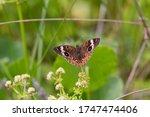 Common Buckeye  Junonia Coenia...