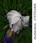 Closeup Blue Iris Flower With...