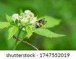 Bumblebee On Black Raspberry...