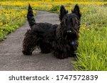 Puppy Scottish Terrier Walks On ...