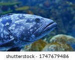 """Goliath Grouper , also known as """"jewfish"""" is a large saltwater fish of the grouper family found in the eastern as well as western Atlantic ocean."""