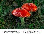 Red Poisonous Amanita Muscari...