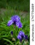 Beautiful Purple Iris Flowers...