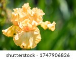 Yellow Iris Flower Bloom On...