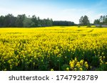 Rapeseed Or Colza  Brassica...