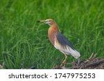 Javan Pond Heron Bird Standing...