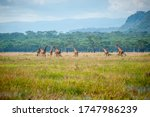 Group Of Wild Giraffes In...