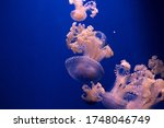 Pink Orange Jellyfish In The...