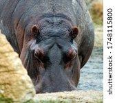 Hippopotamus Amphibius...