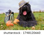 Large massive dog lying on grass in Park, is candlestick, pumpkins. Autumn photo of walking pet on field. Horizontal picture of animal. Free space for text and advertising. wears hat sticks out tongue