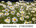Oxeye Daisies Growing In The...