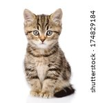 Stock photo scottish kitten looking at camera isolated on white background 174829184