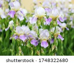 A Iris Plant With Flowers