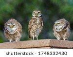 Three Burrowing Owls Sitting O...