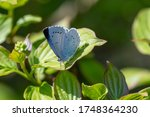 Macro Shot Of A Holly Blue ...