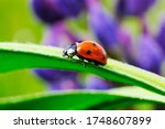Drops of dew on the field. Ladybird on a flower. Macro shooting the beetle on the blade of grass. High quality photo. - stock photo